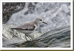 Sanderling on Rock with Wave