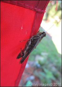 grasshopper-flag0711 (5)