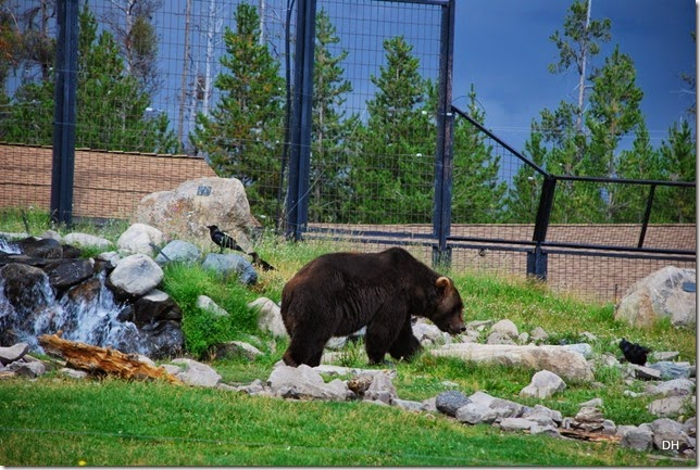 08-07-14 A Grizzly and Wolf Discovery Center (66)