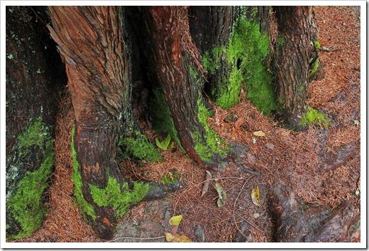 121228_UCBotGarden_Metasequoia-glyptostroboides_04