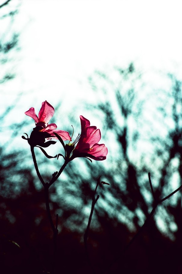 陽明山賞櫻花