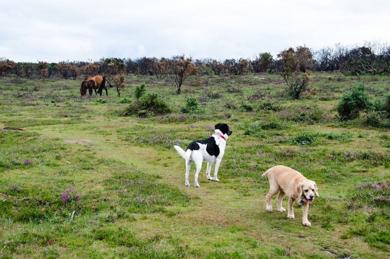 New Forest dogs