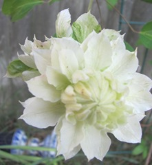 clematis white double 2013 odd one front view