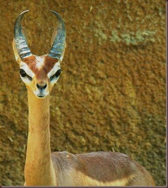 Amazing Animal Pictures Gerenuk (8)