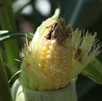 And there's the culprit!  It's the larva of the moth Helicoverpa zea, commonly called the corn ear worm!  This thing is a major agricultural pest that also feasts on many other crops.  Just look what it's done to this beautiful ear of corn!