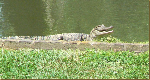 Alligator cropped