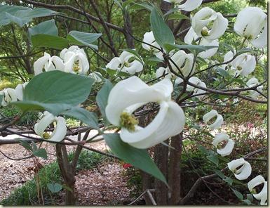 Azalea Garden Nacogdoches, TX Mexican Dogwood