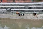 Les vaches sont sacrées au Népal