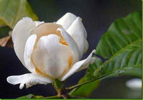 Gustavia speciosa