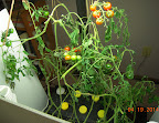 19 week cherry tomato - sudden death, much like the eggplant - best guess is still snowmelt chemicals in the rainwater