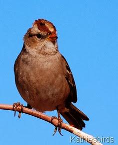 Kathie's whitecrowned sparrow 1-13-08