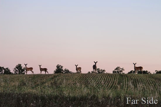 Deer in the field five (2)