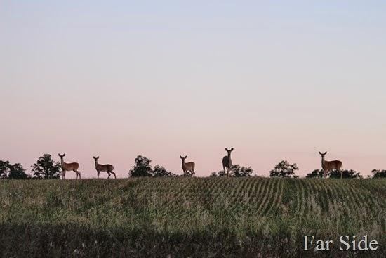 Deer in the field five (2)