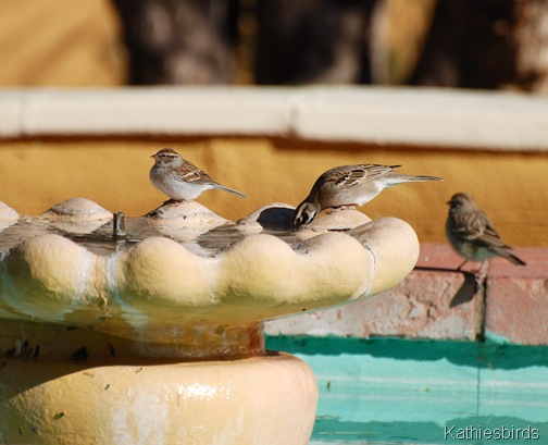 13. Sparrows Tumacacori-kab