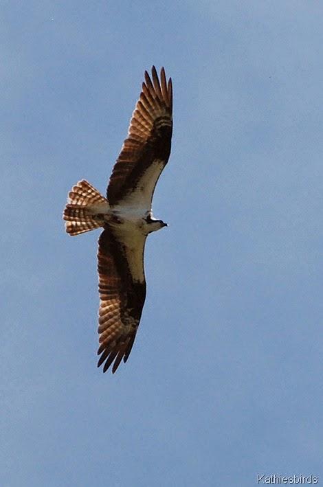 7. Osprey Falmouth, ME