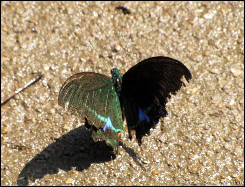 Peacock Butterfly @ Irupu