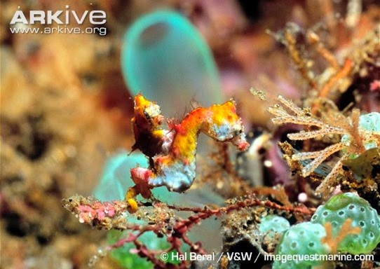 ARKive image GES024770 - Pygmy seahorse