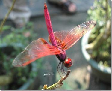 紫紅蜻蜓1