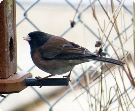 oregon dark eyed junco