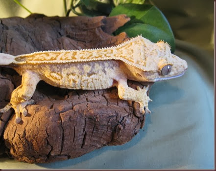 Amazing Animal Pictures crested geckos (5)