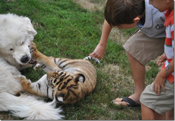 Tiger Zoo 084