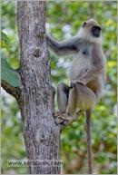 _P6A2097_grey_langur_monkey_mudumalai_bandipur_sanctuary