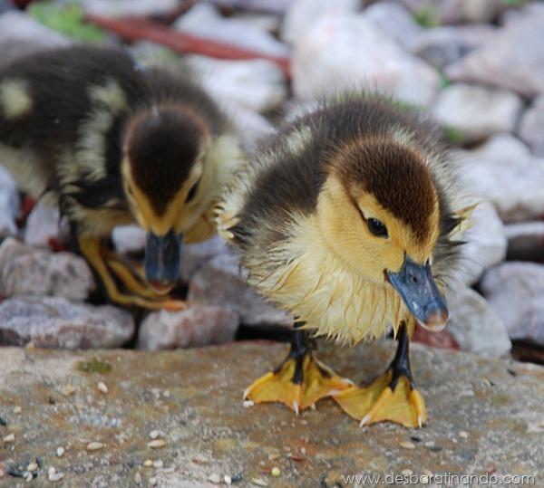 filhotes-patos-fofos-pequenos-desbaratinando (30)