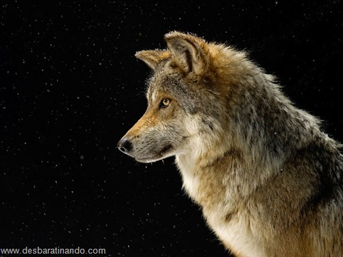 animais national geographic desbaratinando  (33)
