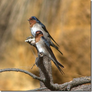 Welcome Swallows (Hirundo neoxena.)