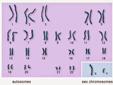 autosomes and sex chromosomes