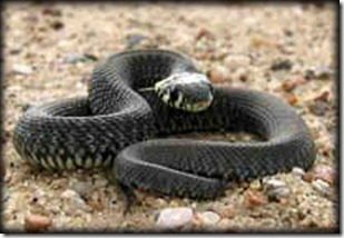 venomous snake black mamba