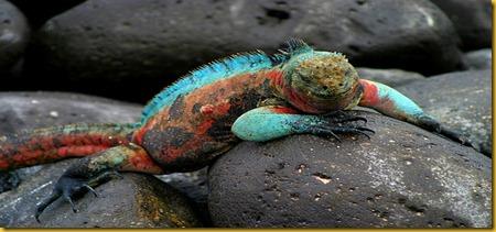 Foto Galapagos Lizard Lucertola 2