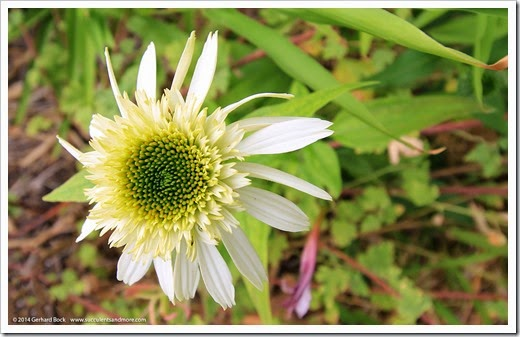 140625_Echinacea-Coconut-Lime_001