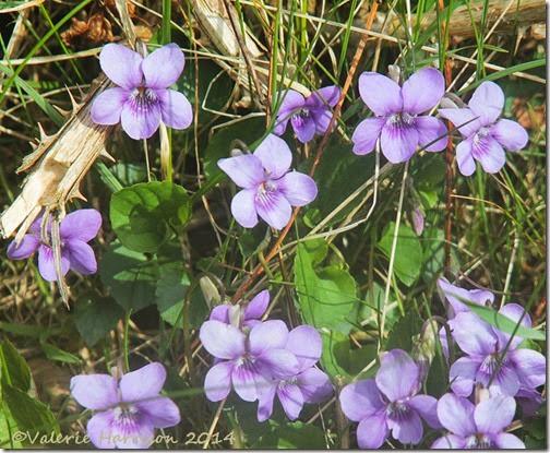 1-dog-violets
