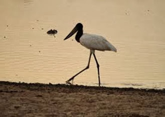 Amazing Pictures of Animals, Photo, Nature, Incredibel, Funny, Zoo, Jabiru mycteria, Bird, Aves, Alex (22)
