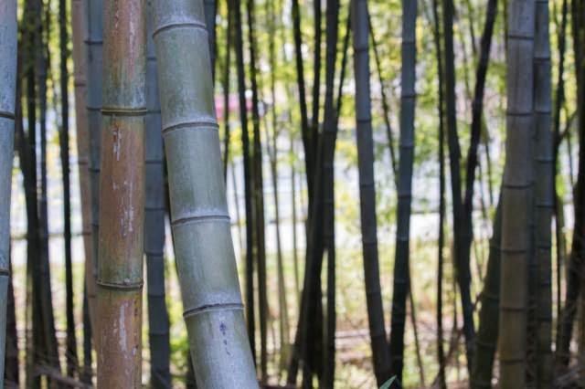 EOS X7で撮った竹林