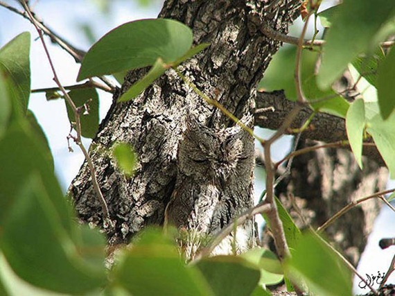 Owls hide