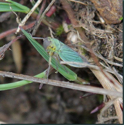 27-Cicadella-viridis