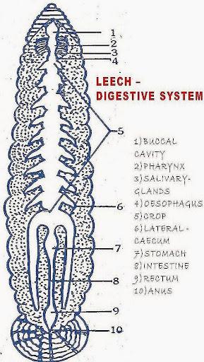 hirudinaria digestive system biozoom Marine Worm Anatomy digestive system of hirudinaria and its adaptations