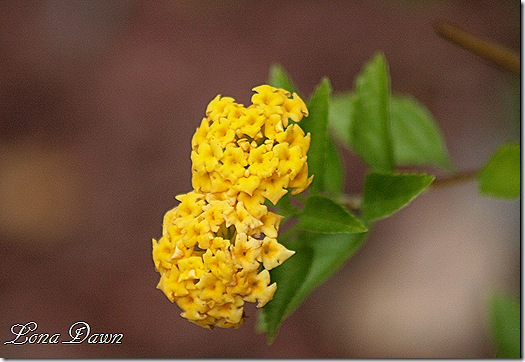 Lantana_Yellow_Sept29