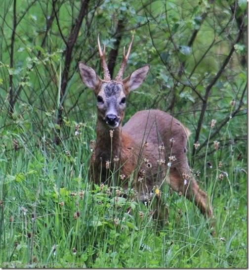 25-roe-deer