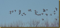- Canada Geese Flock D7K_1121 December 22, 2011 NIKON D7000