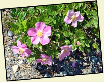 02b3 - hiking Ocean Path - Flowers along the path