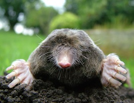 800px-Close-up_of_mole