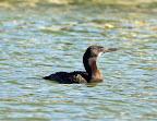 Brant's Cormorant.jpg