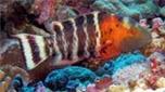 Nouvelle-Calédonie labre à poitrine rouge queue jaune