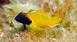 Méditerranée fonds sableux tryptérygion jaune