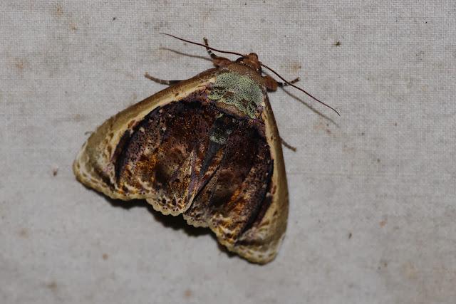 Erebidae : Calpinae : Baecula gallopavo WALKER, 1856. Los Cedros, 1400 m, Montagnes de Toisan, Cordillère de La Plata (Imbabura, Équateur), 20 novembre 2013. Photo : J.-M. Gayman