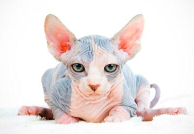gato-esfinge1c