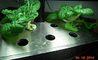 5 week toy choi - replanted this Aerogarden with more toy choi, komatsuna, choho